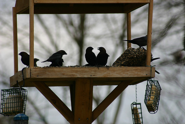 Maryland Wild Birds