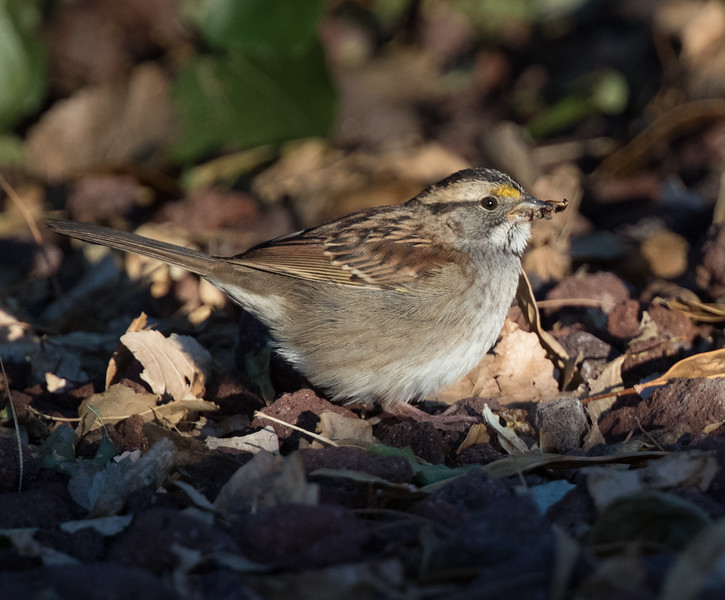 White-throated Sparrow Coso Junction 2018 10 17-4.CR2