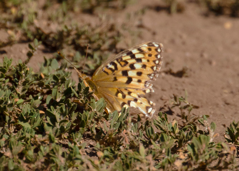 Atlantis Frillitary in Mountain Meadow of Wasatch Mountains Frillitary Butterfly