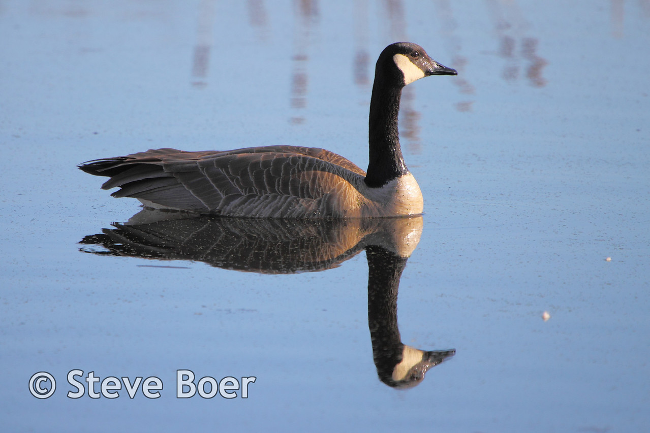Canada goose with reflection