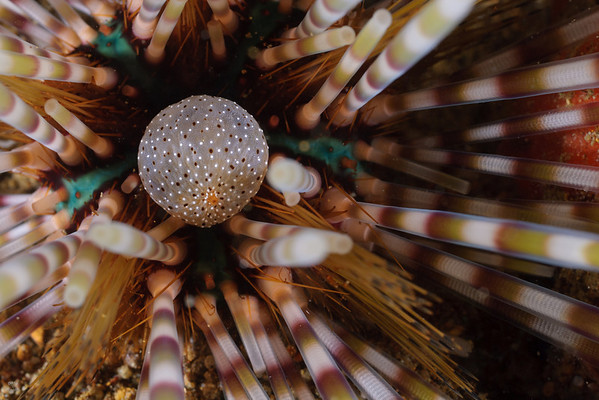 Echinoderms of Anilao