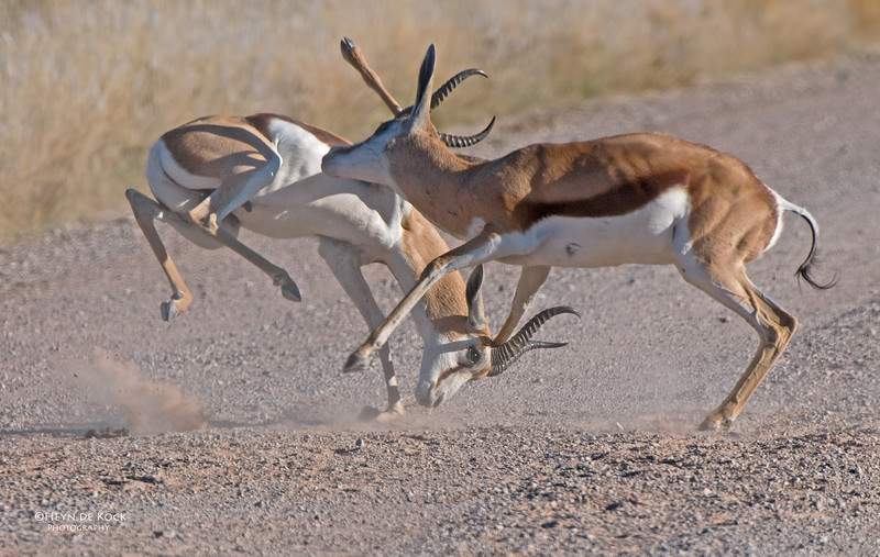 Springbok, Southern Namibia, July 2011.jpg
