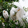 Amazing Mom: Great Egret and Chick at the Alligator Farm #1 04/14