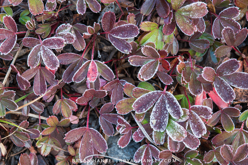 Three-toothed Cinqfoil and Frost