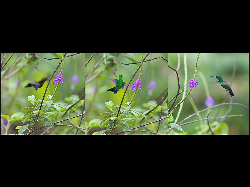 Hummingbird Tript.jpg