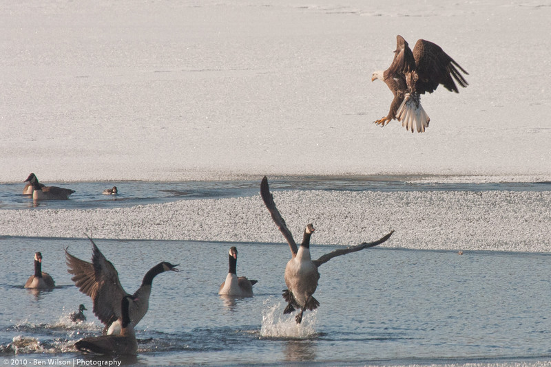 Bald Eagle and Geese in Prescott