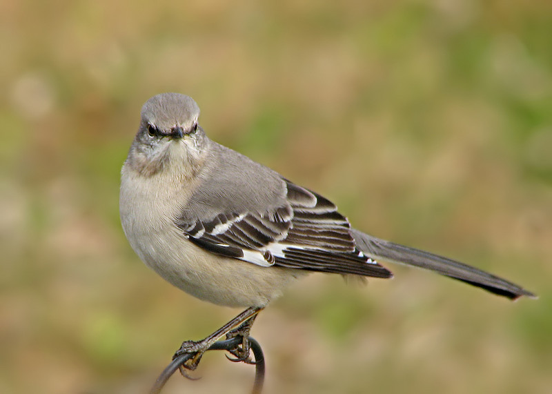 mockingbird_1689.jpg
