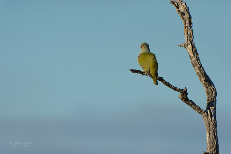 African Green-Pigeon, Sabi Sands GR, MP, SA, Sept 2015.jpg
