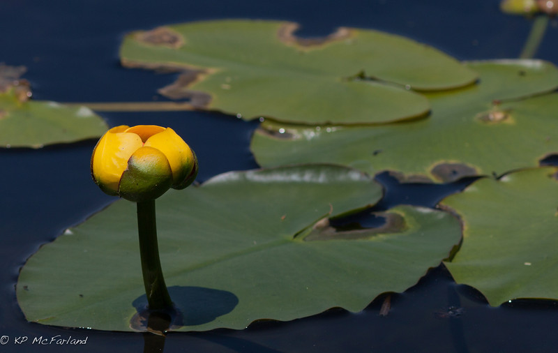 yellow pond-lily (Nuphar lutea)