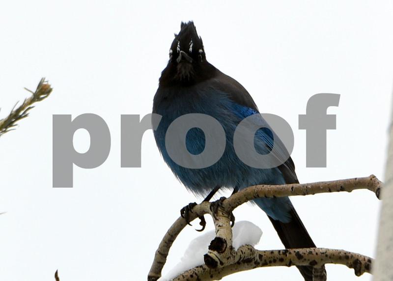 Tell blue bird 1.jpg