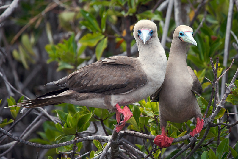 Red-footed boobies courting. Published in the Spring/Summer 2012 issue of Destinations magazine (New Zealand).