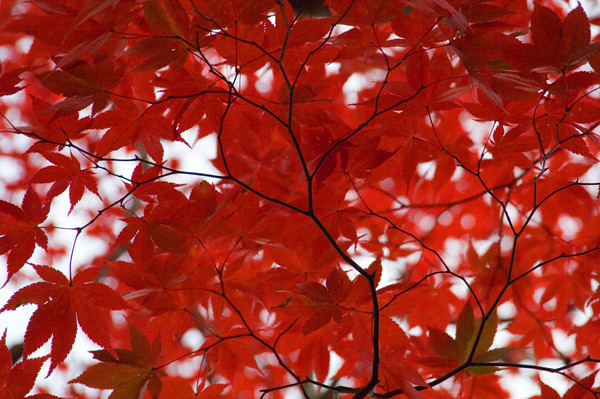 red-leaves-2.jpg
