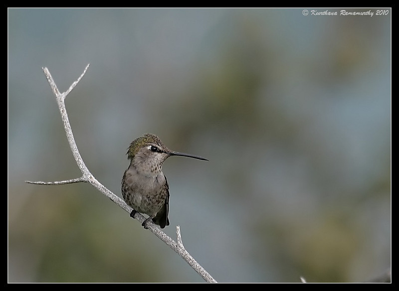 Anna's Hummingbird, La Jolla Cove, San Diego County, California, February 2010