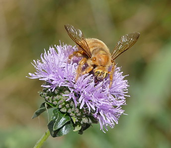5/11/2017 Valley carpenter bee and other insects