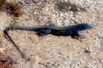 Great Basin Tiger Whiptail