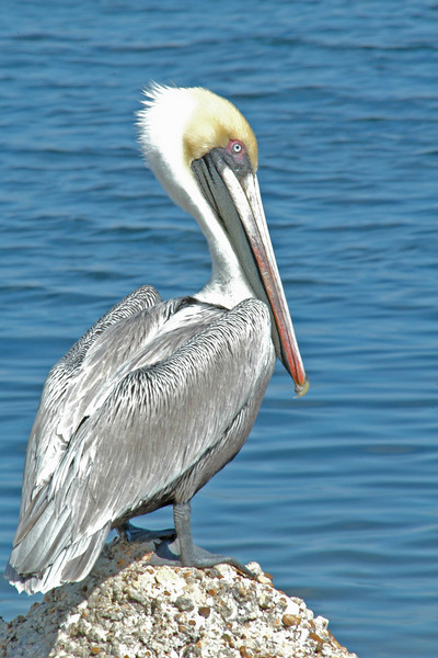 Pelican - Brown - St. Andrew's State Park, FL