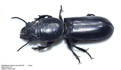 Neocarenum parviceps (Scaritinae )