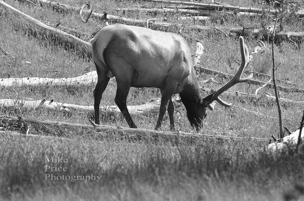 Yellowstone/Grand Tetons in Black & White