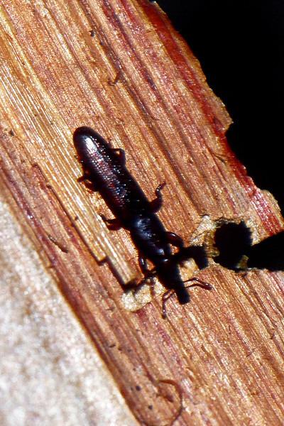 Coleoptera : Curculionidae in Cibotium menziesii stipes. West Maui