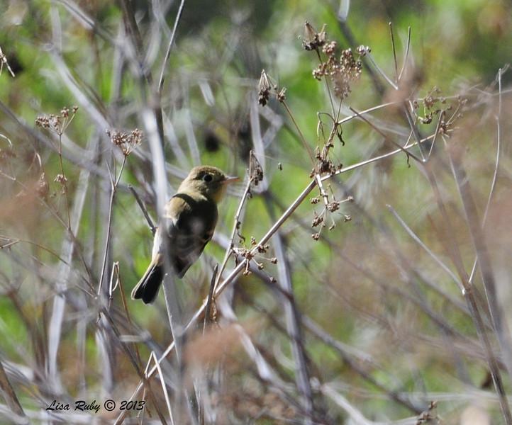 Pacific Slope Flycatcher - 10/12/13 - Whelan Lake