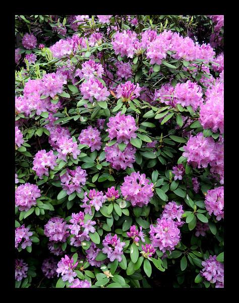 54. Rhododendron on Northeast Corner.JPG
