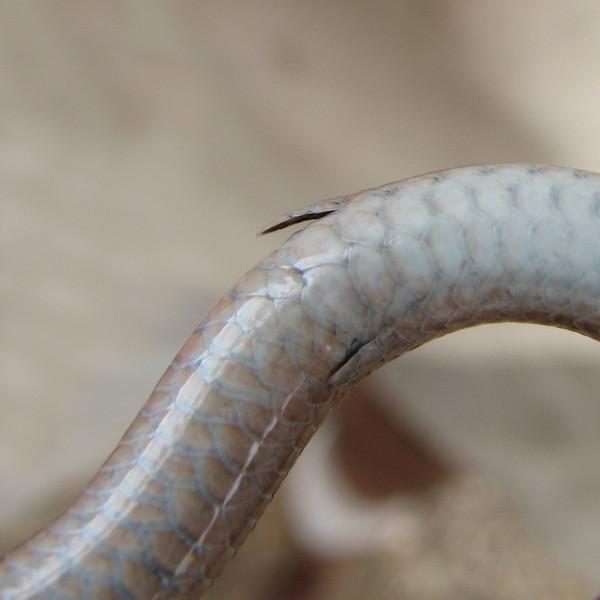 Striped Legless Lizard - Legs.JPG