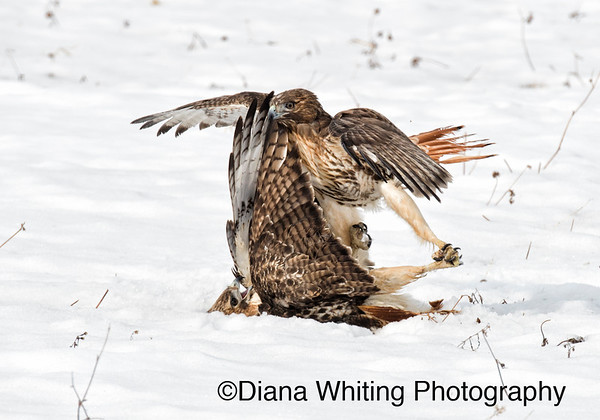 Red-tailed Hawk Fight