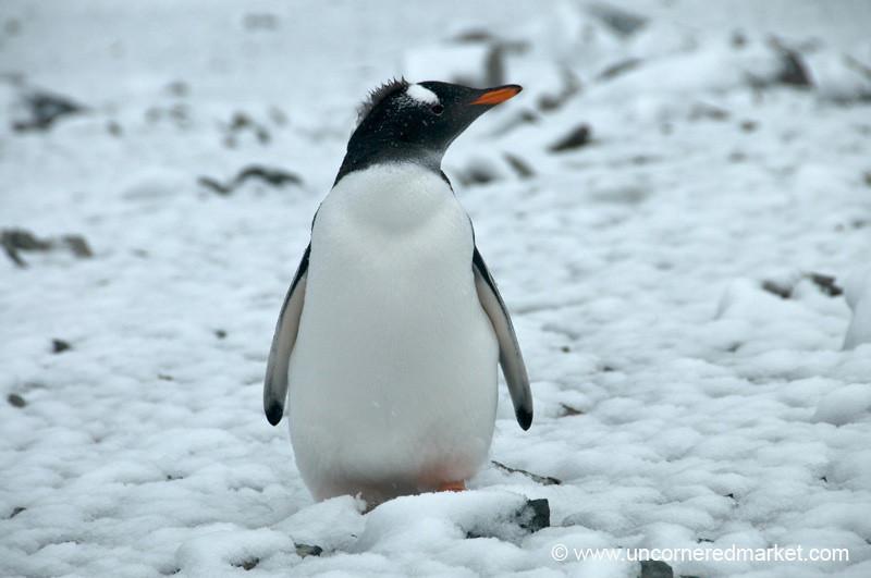 Gentoo Penguin Mohawk? Antarctica