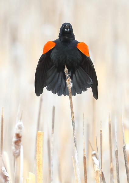 Red-headed Blackbird