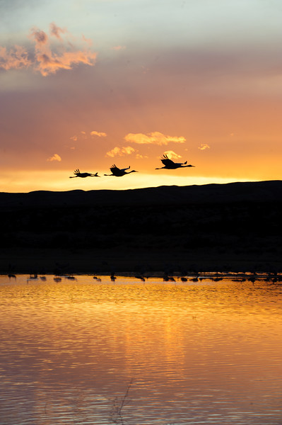 20091212 Bosque del Apache 758.jpg