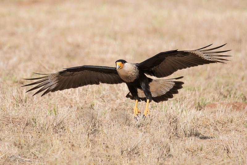 Crested Caracara - adult - Laguna Seca Ranch-Edinburg, TX