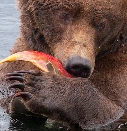Bears - Alaska