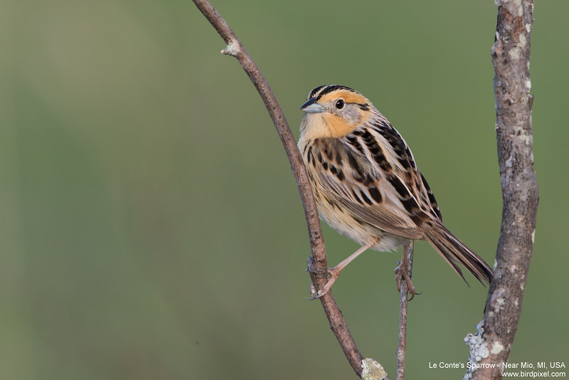 Le Conte's Sparrow - Near Mio, MI, USA