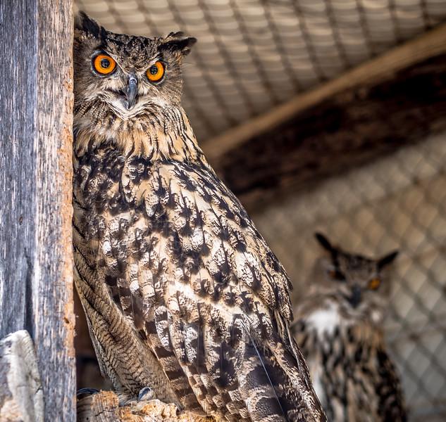 Sceptic owl in Melios Zoo