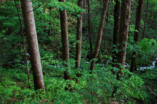 Old Growth Forests at Bradley Fork, Albright Grove and Gabe's Mountain (05/2010)
