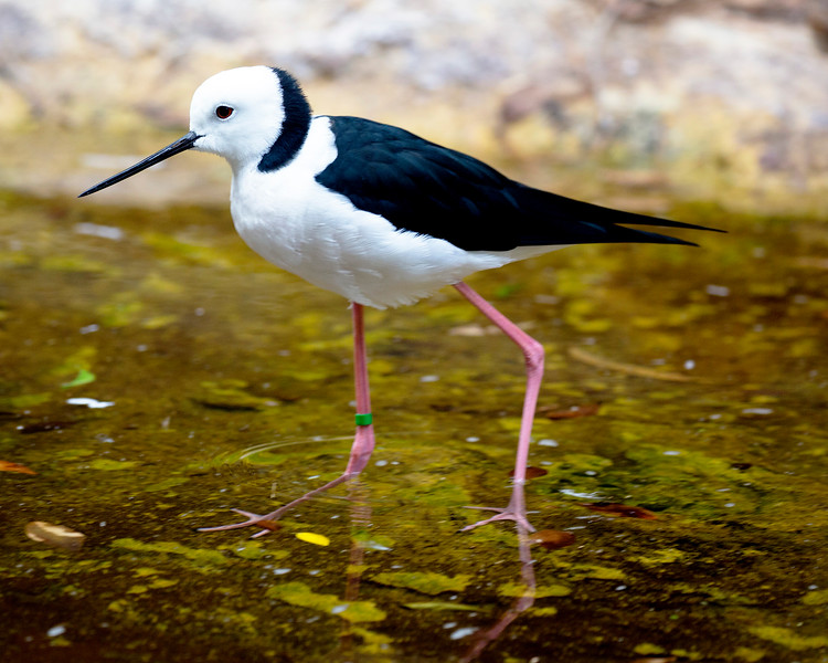 Another Black-winged Stilt