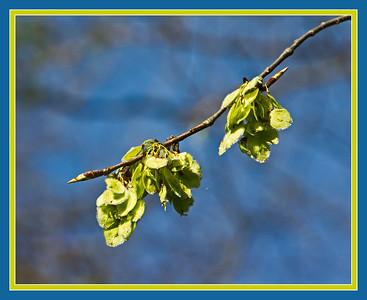 Genus Ulmus - Elm trees