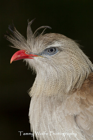 Seriema, Red-legged