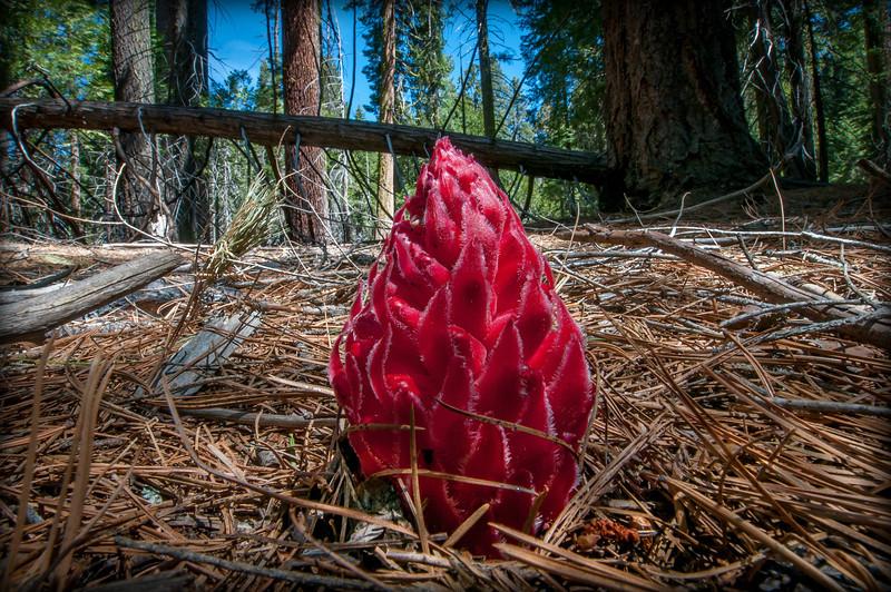 Snow Plant in Yosemite National Park in California
