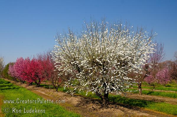 White Icicle Flowering Peach (Prunus persica)
