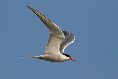 Common Tern (Charrán común)