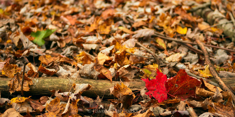 Red Leaf Accent