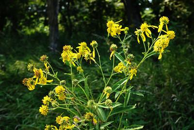 Konza Wildflowers