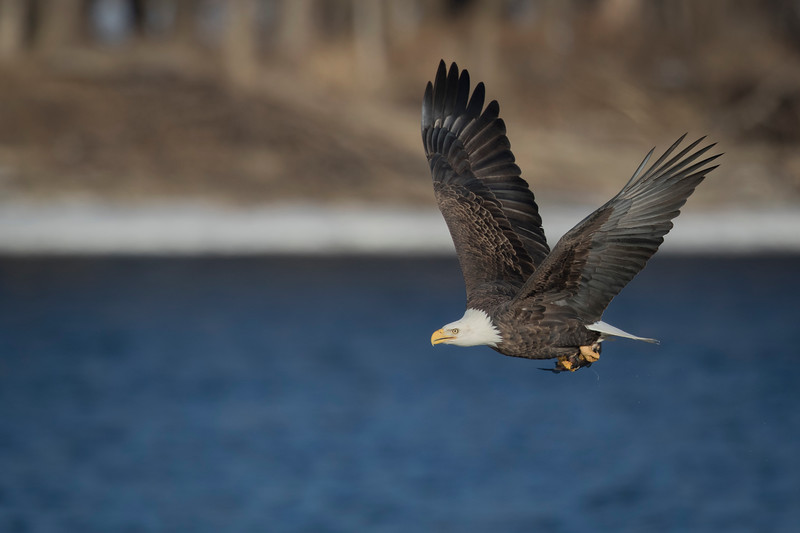 Bald Eagle on the River _4Z8A7274.jpg