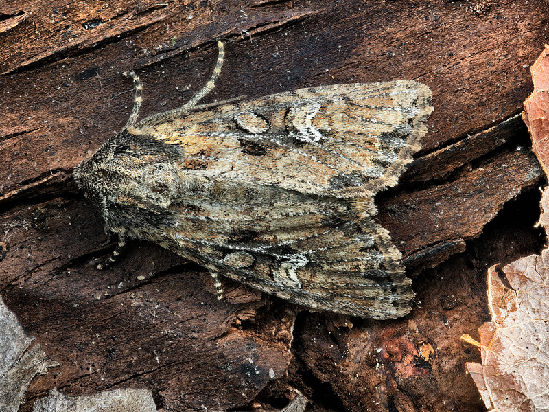 Small Clouded Brindle Moth
