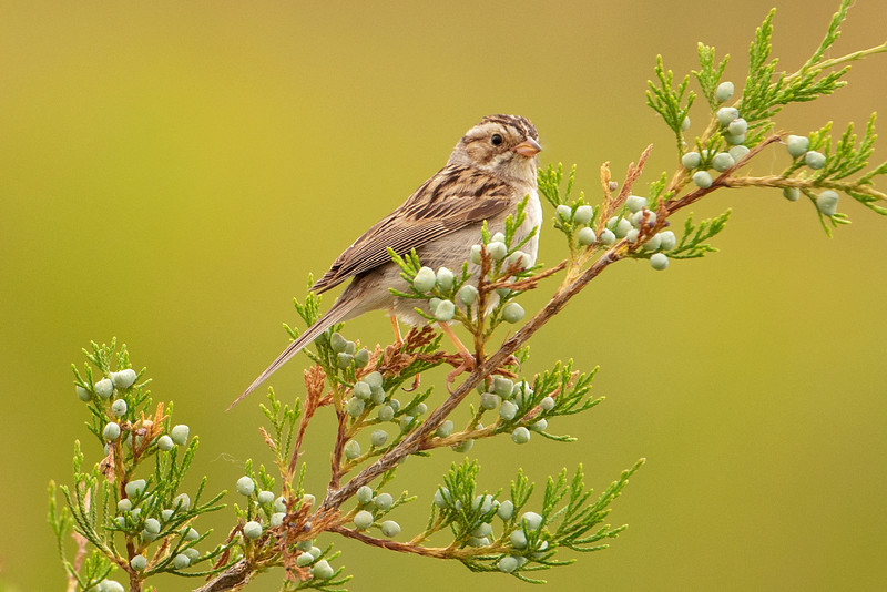 Sparrow - Clay-colored - 140th St Marsh - Dakota County - MN - 02