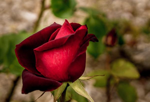 Rose Bonanza