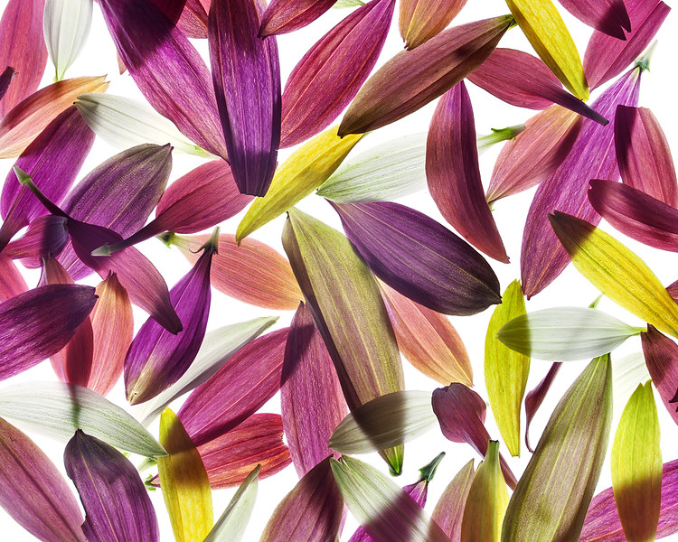 echinacea-petals.jpg