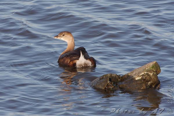 2009-10-18 Riverlands Migratory Bird Sanctuary