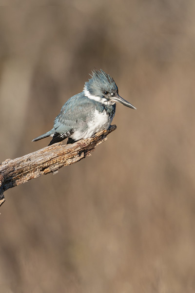 Belted Kingfisher Female Five.jpg